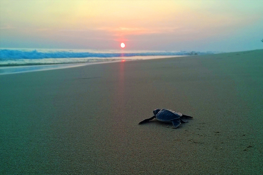 Visitare una turtle farm in Sri Lanka